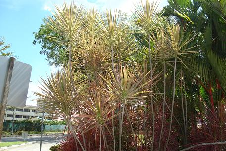 Dracaena Marginata  How to Grow Care  Houseplant 411