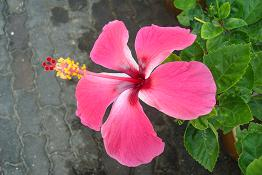 Hibiscus thumbnail ccuart Image collections