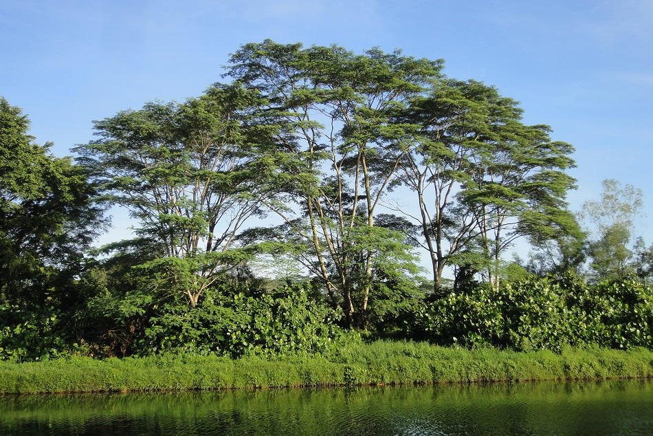 Really, is there anything wrong with the Albizia tree? Unfortunately ...