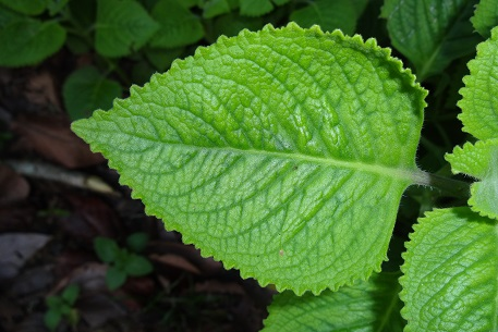 Plectranthus amboinicus  Wikispecies